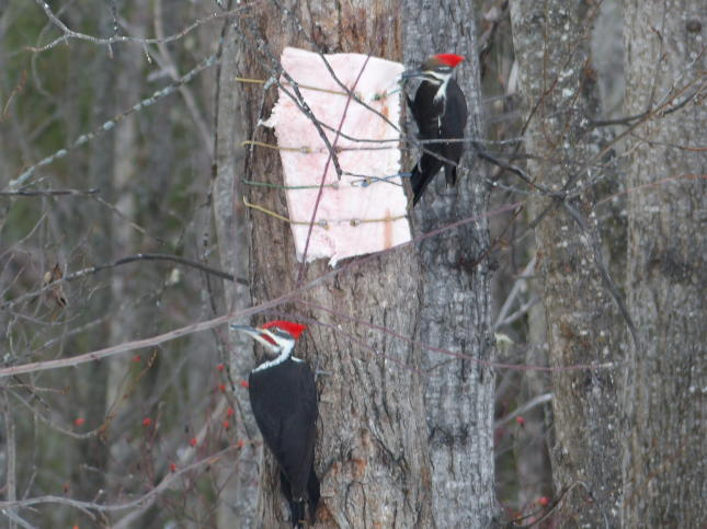Pileated Woodpeckers in Prince George