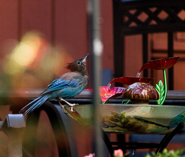 Steller's Jay at fountain
