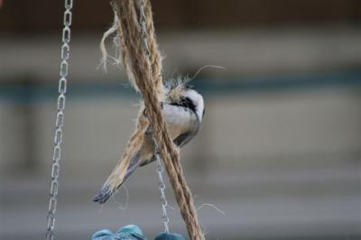Chickadee with nesting material