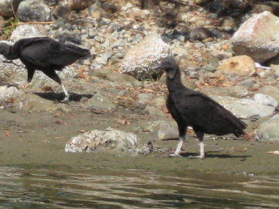 vultures on the beach in Mexico
