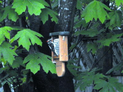 Downy Woodpecker at WBU Feeder