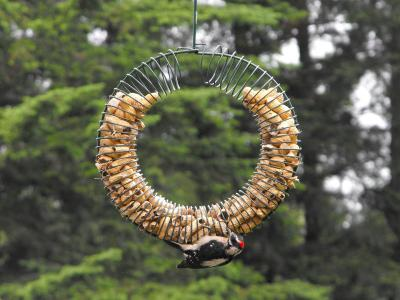 Downy Wodpecker at Peanut Feeder