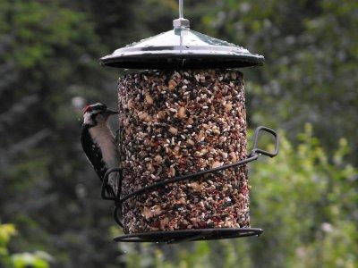 Downy Woodpecker at Seed Cylinder
