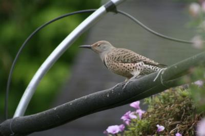 Norther Flicker at Bird Bath