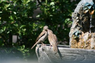 Mom feeding fledgling in bird bath