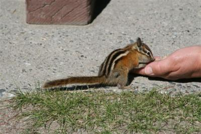 Chipmunk at Manning Park