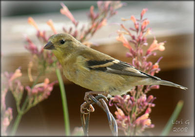 Goldfinch on shrub