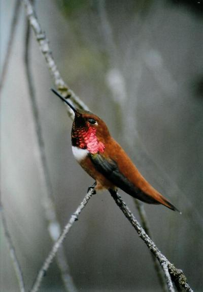 Male Rufous Humminbird