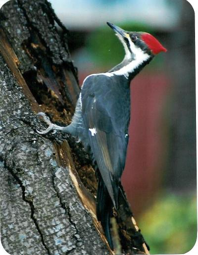 Pileated Woodpecker on Tree