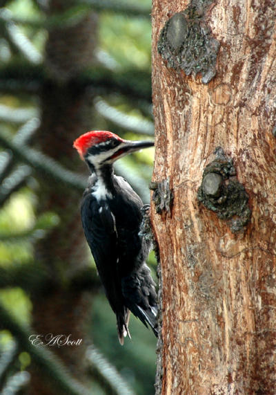 Pileated Woodpecker in back yard