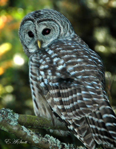 Barred Owl in Elizabeth's back yard