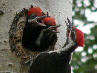 Pileated Woodpecker Family
