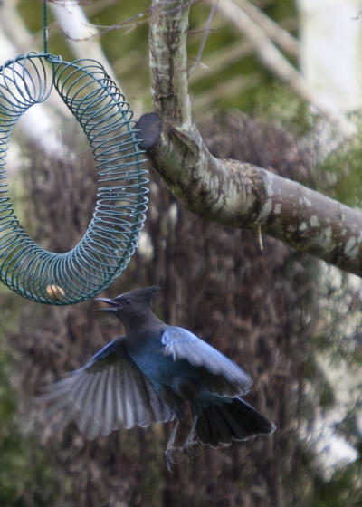 Stellar's Jay at Peanut Wreath Feeder