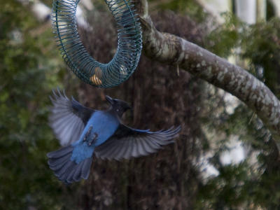 Stellar's Jay at Peanut Feeder