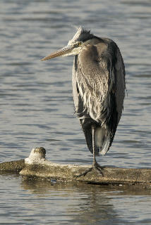 Great Blue Heron by Tim King