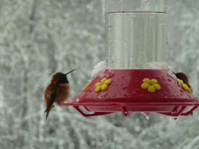 Fluffed up Rufous in the snow