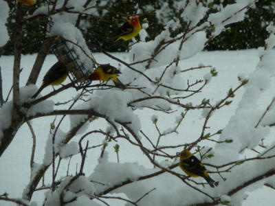 Western Tanager in snow