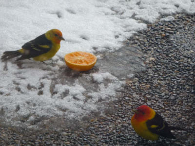 Western Tanagers eating Oranges in snow