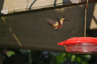 Hungry Rufous Hummingbird