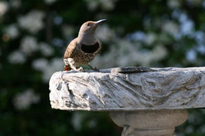 Northern Flicker at Bird Bath
