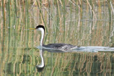 Western Grebe in Septemer
