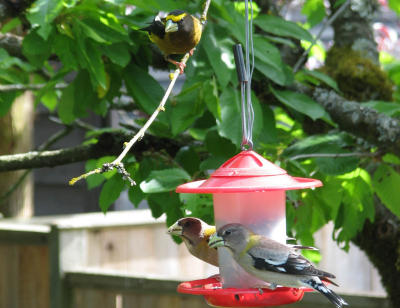 Evening Grosbeaks at South Surrey Bird Feeder