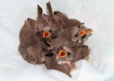Rescued Baby Bushtits