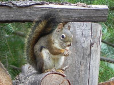 Happy Squirrel at the cabin