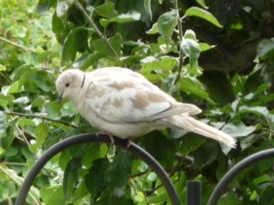 European Collared Dove