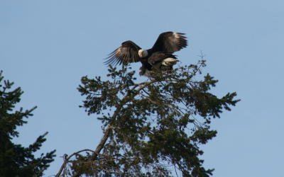 Eagle at Reifel Bird Sanctuary