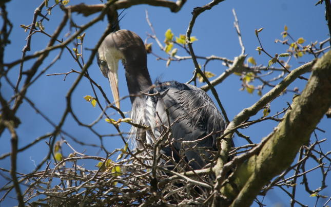 Stanley Park Rookery Photos of nesting Heron