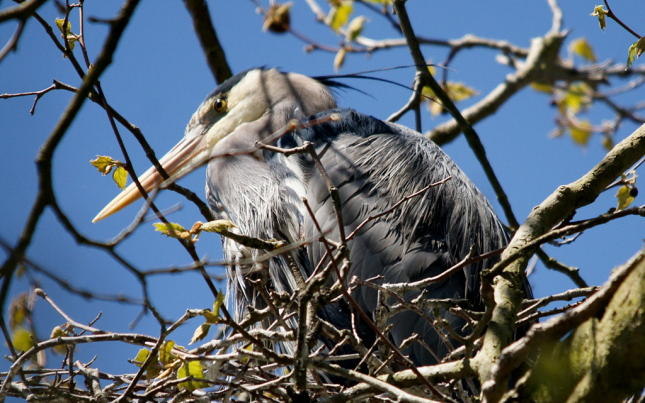 Heron Nesting at Stanley Park Rookery