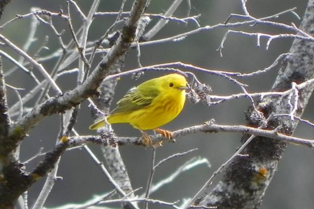 Yellow Warbler Photo by Tina Sherwood