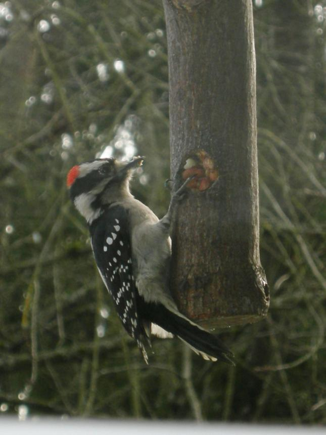 Downy Woodpecker on Peanut Feeder