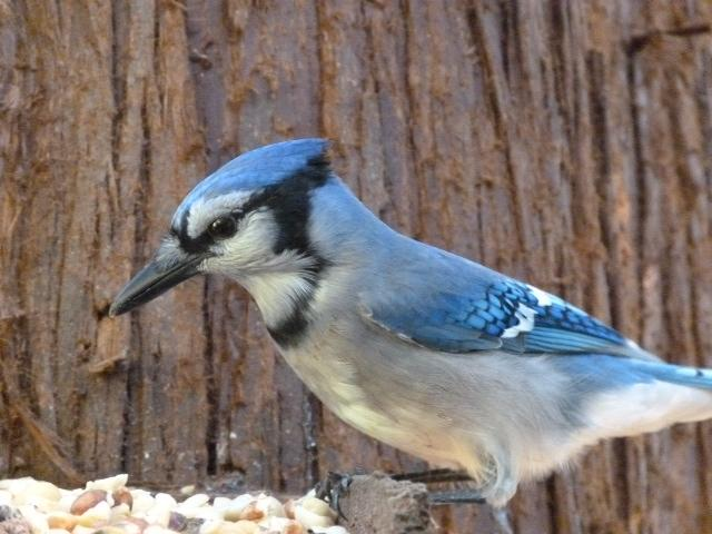 Blue Jay in Langley, BC