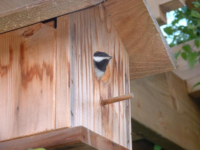 Chickadee leaving nest