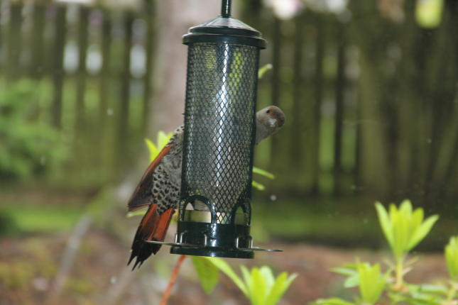 Northern flicker at Feeder