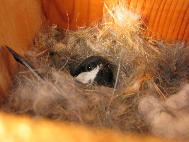 Chickadee at nest