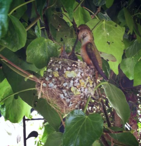 Rufous Hummingbird Nest feeding her young