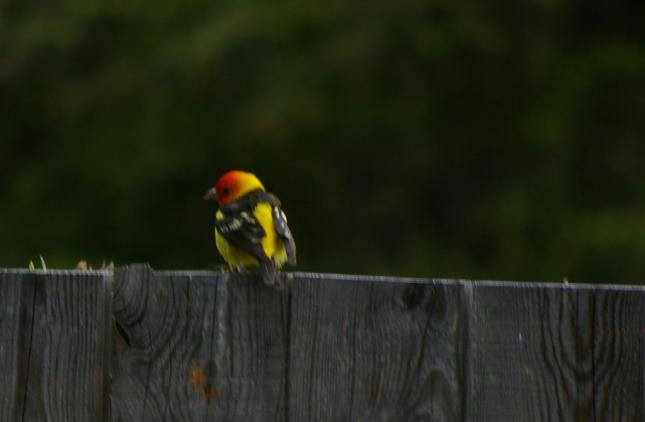 Western Tanager on Fence