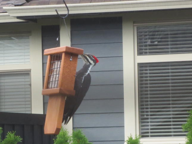 Pileated Woodpecker at Tail Prop Feeder